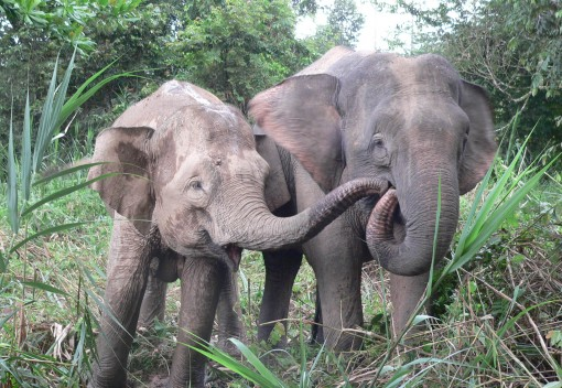 Sustainable Forest Management Could Save Malaysia's Pygmy Elephants