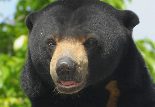 Threats to Bornean Sun Bear Evidence Illegal Poaching in Malaysia