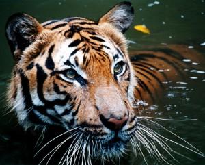 perhilitan, conservation in Malaysia, endangered species in Malaysia, corruption in Malaysia, Malaysian wildlife, wildlife protection