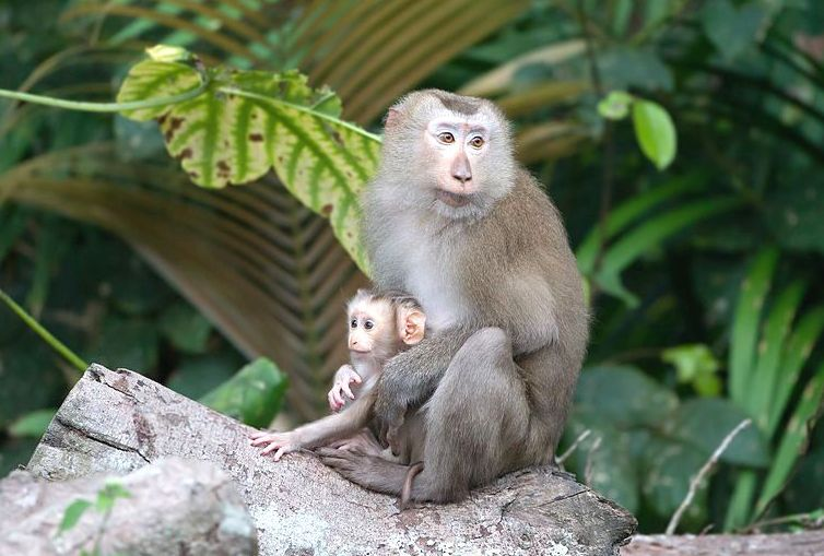 Deforestation is Exposing Malaysians to 'Monkey Malaria,' Study Warns