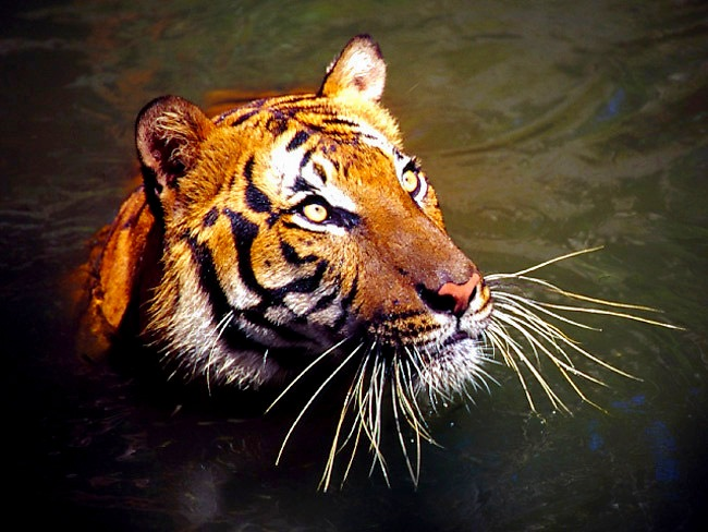 Three Poachers are Arrested for Killing Endangered Malayan Tiger