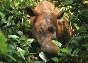 The Sumatran rhinoceros was declared extinct last year from the forests of Malaysia. Photo Credit: Wikimedia Commons