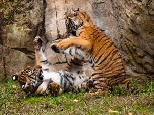 Two Malayan tigers have a bit of a playful tussle. Photo Credit: Wikipedia Commons