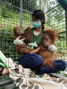 A vet checks on two young orangutans after the primates were rescued from wildlife traffickers who sought to sell them online. Photo Credit: SOCP