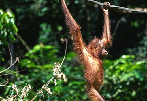Orphaned Orangutans See their Numbers Drop in Sabah
