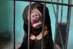 "A Bornean sun bear, newly rescued from a ""bear farm,"" gazes through the bars of its cage. Photo Credit: We Animals Project"