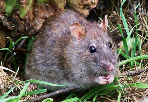 Rats Endanger Small Mammals in Logged Forests