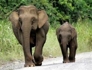 A mother and her calf walk down a road in Sabah. Photo Credit: Fact Zoo