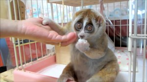 A captive slow loris is featured in a YouTube video. Photo Credit: YouTube