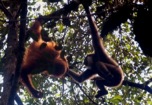 An Orangutan and a Gibbon Hit it Off