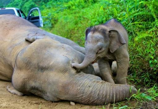 Malaysia's Wild Elephants Need Help