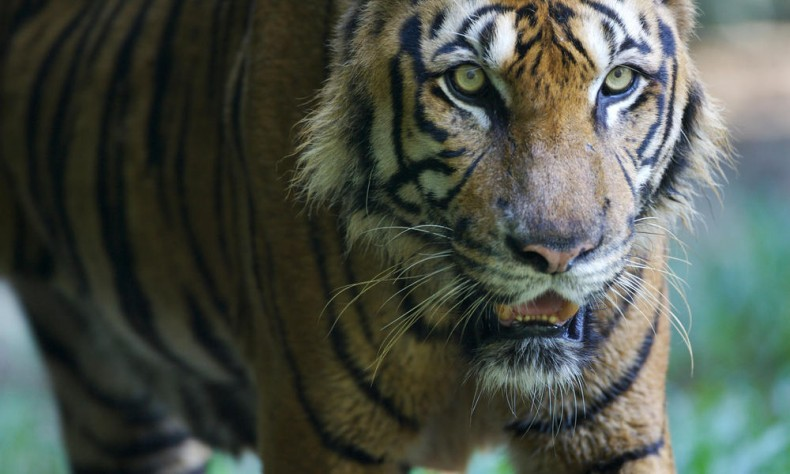 Let's Help Save the Malayan Tiger … for Malaysia and for the Rest of the World
