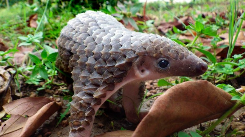 Pangolins Might Receive Full Protection in Sabah – and Not a Moment Too Soon