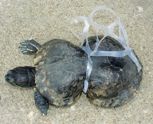 A sea turtle caught in plastic when it was young has had its shell deformed over time with increasing risk to its internal organs. Photo Credit: Wikimedia Commons