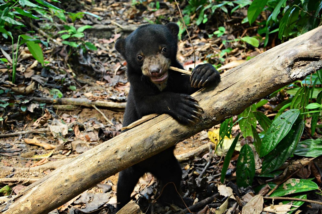 Sun Bear Cubs Really Cute Baby Animals Pictures