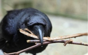 A raven collects twigs so that it can use them as tools for fishing out food. Photo Credit: Jorg Massen/University of Vienna