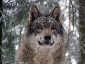 The grey wolf has staged a comeback across swathes of North America in a successful example of rewilding. Photo Credit: Wikimedia Commons