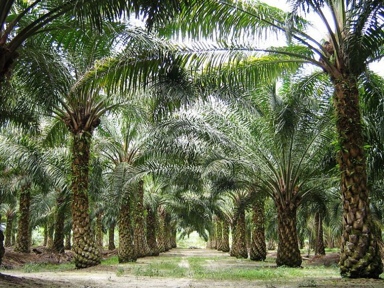 Oil Palms' Little Helpers from Africa