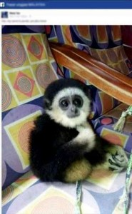 A white-handed gibbon baby was among the endangered species traded on Facebook. Photo Credit: TRAFFIC