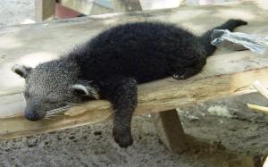Young_pet_bear_cat_in_Taman_Negara_Malaysia (1)