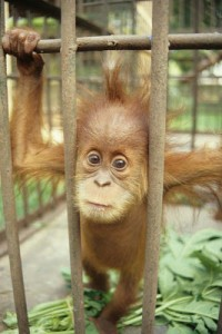A baby orangutan kept as a pet looks out through the bars of its cage. Photo Credit: TRAFFIC