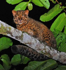 A marbled cat walks along a branch in a Sabah forest. Photo Credit: Andrew J Hearn and Joanna Ross