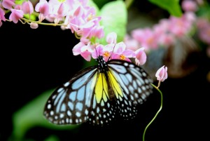 Butterflies are not only eye-catching but also serve important roles as pollinators. Photo Credit: Kuala Lumpur Butterfly Park