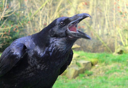 Ravens are Smarter than You Thought