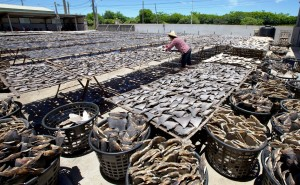 Thousands of shark fins dry in the sun at a factory in Taiwan. Photo Credit: Wikimedia Commons