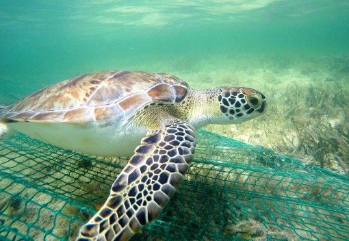 A Simple Trick can save Sea Turtles from getting caught in Nets