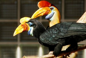 Helmeted hornbills use their magnificent casques for display and dominance. Photo Credit: Wikimedia Commons