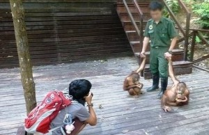 Two orphaned orangutan babies are used as tourist draws at Rasa Ria Resort. Photo Credit: Foto
