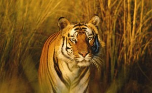 Bengal tiger walks in tall grass in Madhya Pradesh, India. Photo Credit: WWF