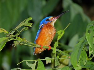 Blue-eared kingfisher, a species that prefers dense forests in Borneo, perches on a tree. Photo Credit: Wikimedia Commons