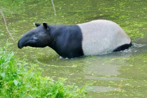 Malayan tapirs often make dense peat swamps their home. Photo Credit: Bowmanville Zoo