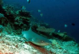 malaysia, sharks, endangered sharks, shark conservation, sustainability, marine conservation, marine science, marine biology, shark