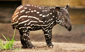 What a cutie! Captive breeding programs are vital for ensuring the survival of Malayan tapirs. Photo Credit: Pixabay