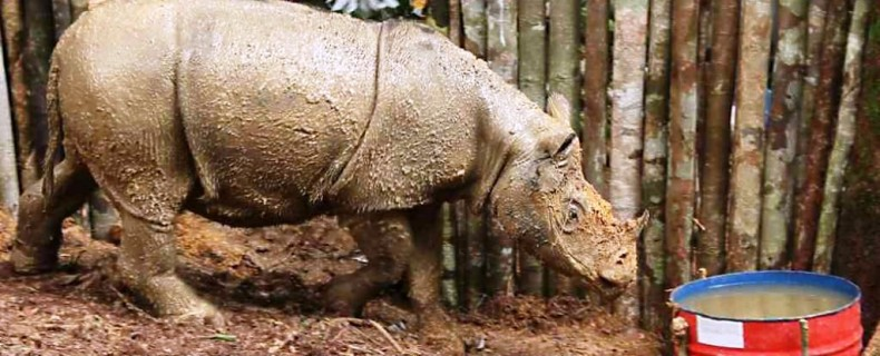 The Capture of a Sumatran Rhino rekindles Conservationist Hopes