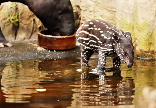 Malayan Tapir is born in Japan