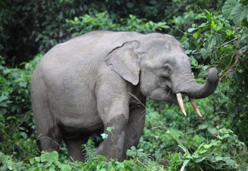 Dead Elephant is found in Kedah without its Tusks