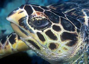 Hawksbill sea turtles are so named after their formidable beaks. Photo Credit: Wikimedia Commons
