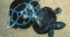 Peanut the sea turtle has become permanently deformed because of a six-pack ring. Photo Credit: Missouri Department of Conservation
