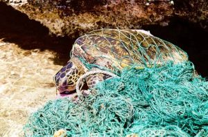 A sea turtle lies entangled in a fishing net. Photo Credit: Wikimedia Commons