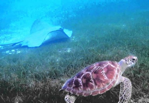 Demand for Stingrays is killing Turtles