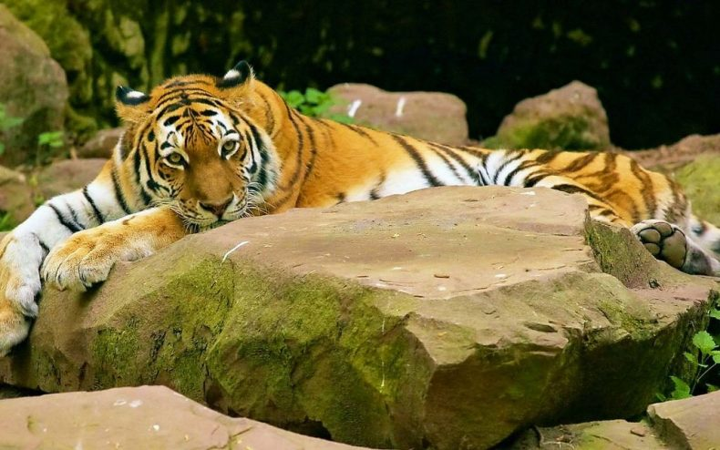 Malaysian Tigers 'need Heroes.' Are you going to be a Hero for Them?