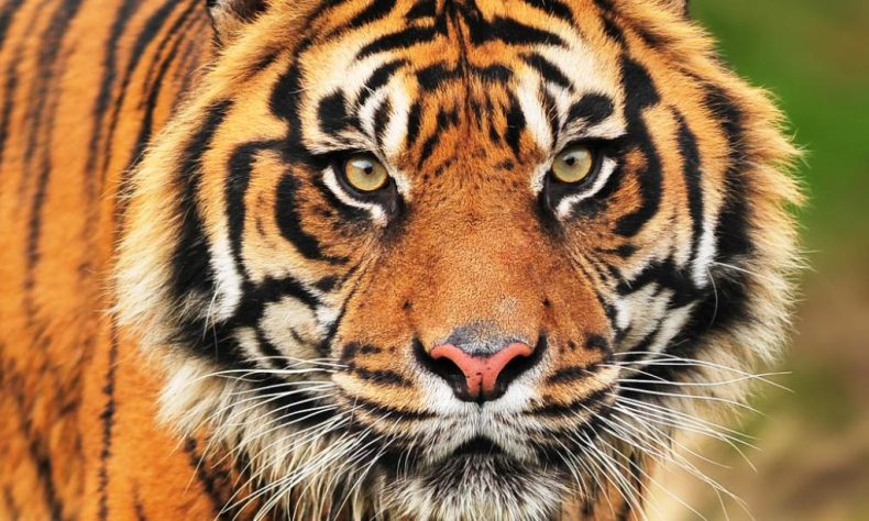 Tiger poaching incident in Indonesia serves up a Warning to Malaysia