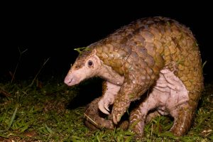 Pangolins are gentle creatures at risk of extinction because of an insatiable appetite for their meat and scales. Photo Credit: WWF
