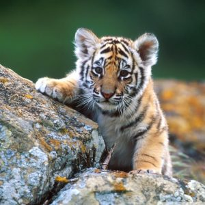 Tiger cubs like this one will need help not only from their mothers but from us too if they are to survive in the wild. Photo Credit: wallpaperswide.com