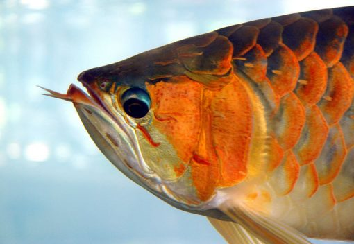 Malaysian team decodes the Genome of ancient 'Dragon Fish'