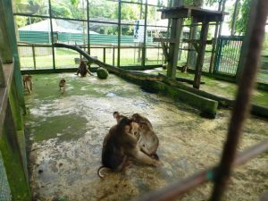 Short-tailed macaques inside their cage at the farm. Photo Credit: FOTO